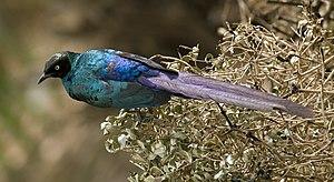 Foto eines juvenilen Langschwanz-Glanzstars