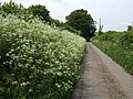 Laneside hedge parsley - geograph.org.uk - 440368.jpg