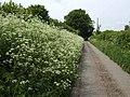 Laneside hedge parsley - geograph.org.uk - 440368.jpg