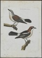 Lanius senator - 1790-1796 - Print - Iconographia Zoologica - Special Collections University of Amsterdam - UBA01 IZ16600425.tif