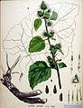 Lappa minor — Flora Batava — Volume v20.jpg