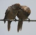 Large Grey Babbler (Turdoides malcolmi)- allopreening in AP W IMG 8033.jpg