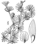 Larix laricina drawing.png