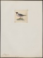 Larus franklini - 1820-1860 - Print - Iconographia Zoologica - Special Collections University of Amsterdam - UBA01 IZ17900270.tif