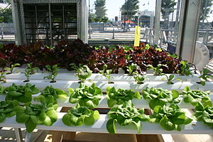 Hydroponics - The nutrient film technique being used to grow various salad greens
