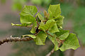 Leaves & young bark I IMG 4040.jpg