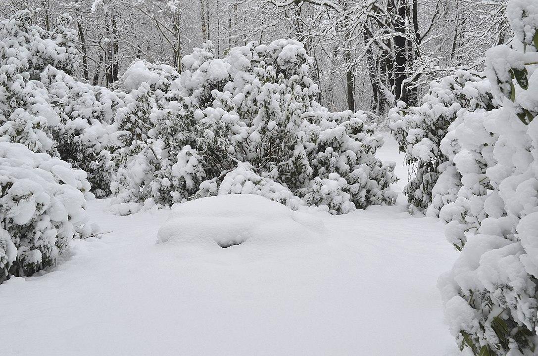 https://upload.wikimedia.org/wikipedia/commons/thumb/8/8e/Lebenswertes_chemnitz_winter_stadtpark_schnee_rhododendron.jpg/1087px-Lebenswertes_chemnitz_winter_stadtpark_schnee_rhododendron.jpg