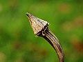 Lege zadenhouder Echinacea purpurea (zonnehoed). Locatie, tuinreservaat Jonkervallei 01.JPG