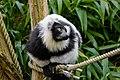 Lemur (25515240007).jpg