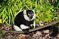 Lemur (26245333959).jpg