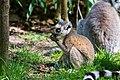 Lemur (35779425144).jpg