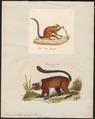 Lemur collaris - 1700-1880 - Print - Iconographia Zoologica - Special Collections University of Amsterdam - UBA01 IZ19700055.tif