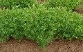 Lentil plants.jpg