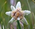 Leontopodium ochroleucum, эдельвейс в Горах Алтая 05.jpg