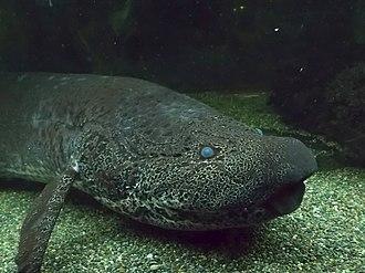 Protopterus - Image: Leopard lungfish (Protopterus aethiopicus) close GRB