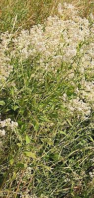 Pepper herb (Lepidium latifolium)