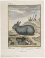 Lepus cuniculus - 1700-1880 - Print - Iconographia Zoologica - Special Collections University of Amsterdam - UBA01 IZ20600233.tif
