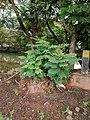 Leucaena leucocephala 24.jpg