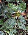 Leucas ciliata 01.JPG