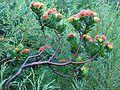 Leucospermum oleifolium bush.JPG