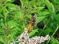 Libelle (Dragonfly).jpg