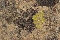 Lichen (42999470121).jpg
