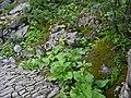 Ligularia amplexicaulis DC. (7809457314).jpg