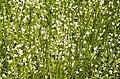 Limnanthes bakeri (Baker's meadowfoam) (7228063212).jpg