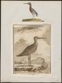 Limosa aegocephala - 1700-1880 - Print - Iconographia Zoologica - Special Collections University of Amsterdam - UBA01 IZ17400011.tif