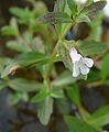 Lindernia dubia subsp. major.JPG