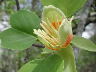 North American Atlantic Region - Liriodendron tulipifera, closely related to L. chinense from China