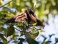 Little Cuckoo-Dove (13890372055).jpg