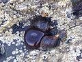 Littorina saxatilis - Cornwall 1.jpg