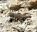 Lizard (13742267134).jpg
