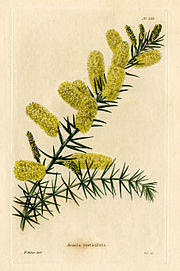 Loddiges 535 Acacia verticillata drawn by W Miller.jpg