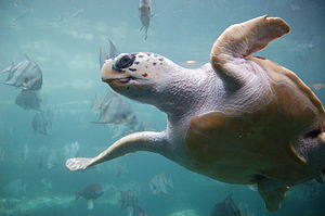 Underside of a loggerhead sea turtle as it swi...