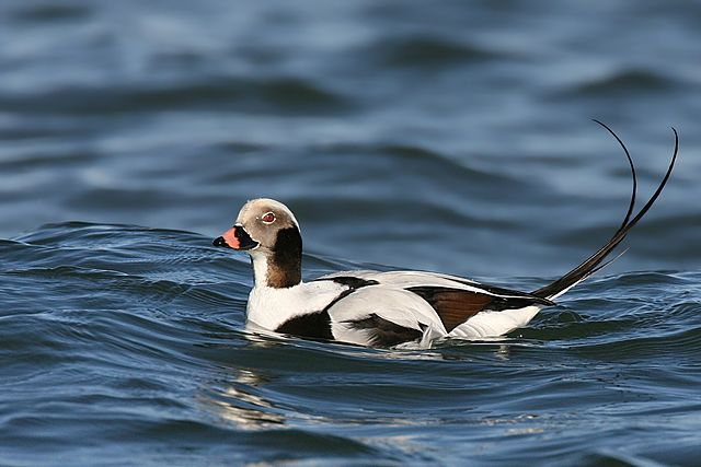 Long-tailed duck photo by Wolfgang Wander