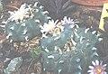 Lophophora williamsii 2.jpg