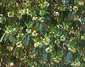 Lophostemon confertus, loof en blomme, Pretoria, b.jpg