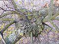 Loranthus europaeus sl3.jpg