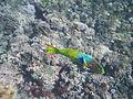 LordHoweIsland NorthBay Reef 13.JPG