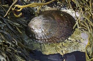 <i>Lottia gigantea</i> species of mollusc