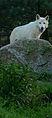 Loup de l'Arctique 14083.jpg