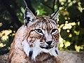 Luchs Lynx In freier Wildbahn.jpg
