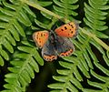 Lycaena phlaeas (Small Copper) - Flickr - S. Rae.jpg
