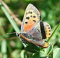 Lycaena unknown (PeterPGS).jpg