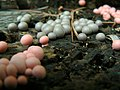 Lycogala epidendrum - Pink and brown slime molds.jpg