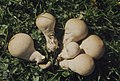 Lycoperdon pyriforme, Hepste, October 1975 (25385943789).jpg