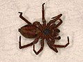 Lycosidae sp. (37902300402).jpg