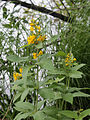 Lysimachia vulgaris Oulu, Finland 04.07.2013.jpg